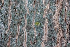 Structure of the bark of a tree with cracks and convolutions_. Structure of the bark of a tree with cracks and convolutions Royalty Free Stock Photography