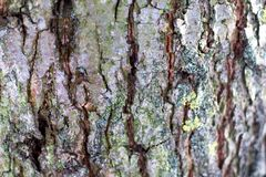 Structure of the bark of a tree with cracks and convolutions_. Structure of the bark of a tree with cracks and convolutions Stock Photo