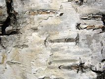 Structure of birch bark of a tree Royalty Free Stock Photo