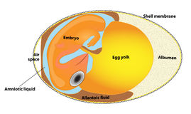 Structure bird egg. bird embryo. Scheme egg. Interior view of a bird's egg. Porous shell enclosing an embryo and the substances that nourish it during Stock Images