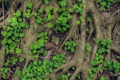 Structure complexe des racines d'un arbre conifére Photographie stock libre de droits