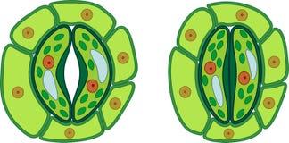 Structure de complexe stomatal avec le stoma ouvert et fermé illustration libre de droits