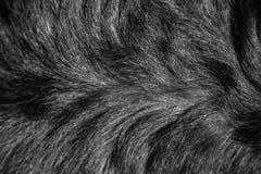 Structure de fourrure d'un chien de race un rottweiler Images stock