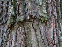 Structure de l'écorce de l'arbre Fond en bois Fermez-vous vers le haut de la texture de l'écorce d'arbre images libres de droits