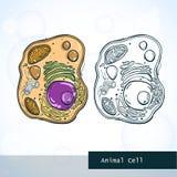 Structure de la cellule animale Photo libre de droits