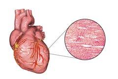 Structure de muscle cardiaque illustration libre de droits