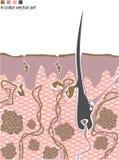 Structure de peau avec le cheveu Images libres de droits