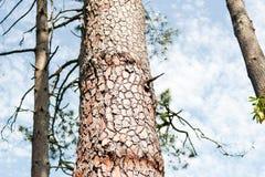 Structure de plan rapproché d'écorce de pin avec des arbres contre le ciel Fond, Batumi, la Géorgie photo stock