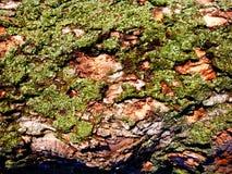 Structure des arbres secs et écorce des arbres vivants Nuances de Brown image libre de droits