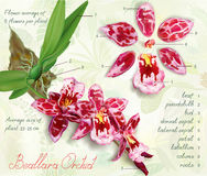Structure description of the orchid Royalty Free Stock Photography
