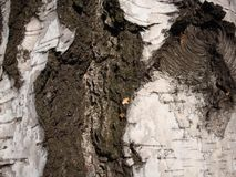 Structure of dry trees and bark of living trees. Brown shades stock images