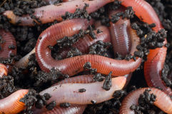 Structure. Earthworms Stock Images
