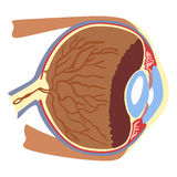 Structure of the eye Stock Images