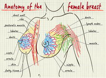 Structure of the female breast Royalty Free Stock Images