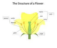 Structure of a flower. Vector Royalty Free Stock Photo