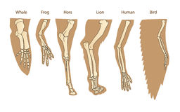 Structure Forelimb Of Mammals. Human Arm. Lion Forelimb. Whale Front Flipper. Bird Wing. Stock Image