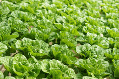 Structure formation of vegetable plantation Stock Photography