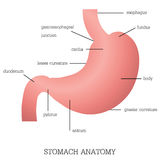 Structure and function of Stomach Anatomy system. Royalty Free Stock Photography