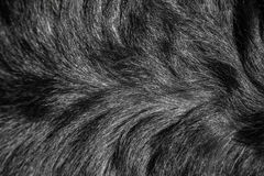 Structure of fur of a dog of breed a Rottweiler Stock Images