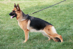 Structure of the German shepherd Royalty Free Stock Image