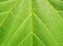 Structure of grape leaf Stock Photography