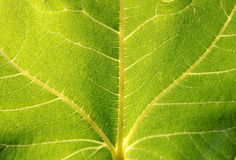 Structure of a green leaf Stock Image