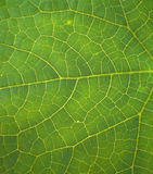 The structure of the green leaf. Royalty Free Stock Photos