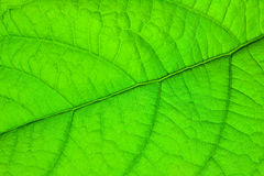 Structure of green leaf Stock Image