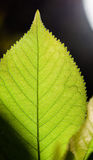 Structure of Green Leaf Stock Photos