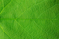 Structure of green leaf. Natural background, structure of green leaf Royalty Free Stock Images