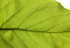 Structure of a green leaf. Structure of a backlit green leaf in spring, close-up photo Stock Images
