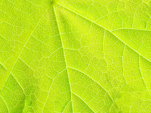 Structure of green maple  leaf. Royalty Free Stock Photos