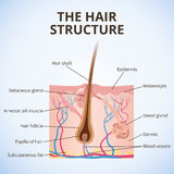 The structure of the hair. An illustration of the structure of the hair and hair follicle, sweat and sebaceous gland Stock Image