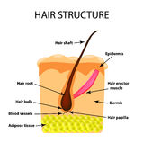 The structure of the hair. Infographics. Vector illustration on isolated background Stock Image