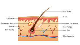 Structure of Hair Stock Photo
