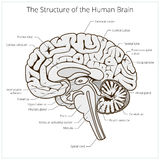Structure of human brain section schematic vector Stock Photo