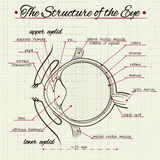 The structure of the human eye Stock Photos
