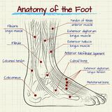The structure of the human foot Royalty Free Stock Photo
