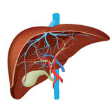Structure of the human liver. Royalty Free Stock Images