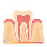 Structure of human teeth Royalty Free Stock Photo