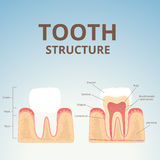 Structure of human teeth Stock Photo