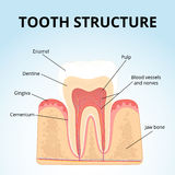 Structure of human teeth Stock Images