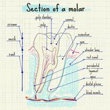 Structure of human tooth Stock Image