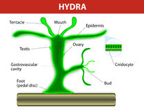 Structure of a hydra Stock Photography