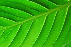 Structure of a leaf Stock Images