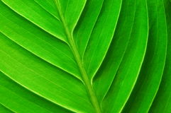 Structure of a leaf Royalty Free Stock Image