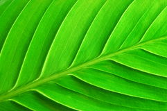Structure of a leaf Royalty Free Stock Photos