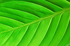 Structure of a leaf. Texture or structure of a green leaf Royalty Free Stock Photography