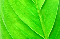 Structure of a leaf Stock Image