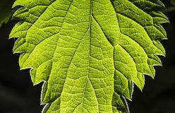 Structure of a leaf Stock Photo